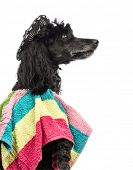 Close-up of a Poodle, 5 years old, wearing a poncho and a sombrero in front of white background