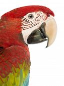 Side view close-up of a Green-winged Macaw, Ara chloropterus, 1 year old, in front of white backgrou
