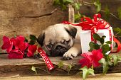 picture of pug  - pug puppy and gift  box - JPG
