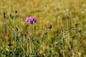Wild Bachelor Button Flower