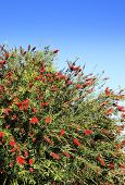 Red Flower Of The Australian Bottle Brush Tree (callistemon Spp.) The Name Derives From The Plant's