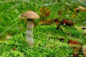 Boletus Scaber (leccinum Scabrum) On The Hummock Moss