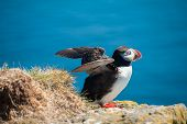 Puffin (Fratercula arctica) on the cliff against a blue background. West Fjords in the Iceland