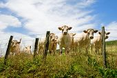 stock photo of charolais  - Herd of white Charolais cows in France - JPG