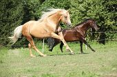 Brown And Palomino Stallions Running On Pasturage