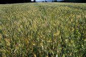 View in a grain field