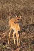 Baby Axis Deer In Bandipur National Park