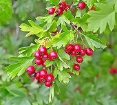 Hawthorn berries in a wood