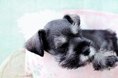 pic of schnauzer  - Six week old salt and pepper Mini Schnauzer falling asleep inside of a pink hat box - JPG