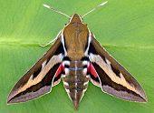 Gallium Sphinx Moth