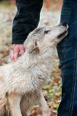 Blonde Wolf (Canis lupus) Submission