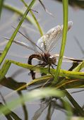 Dragonfly Lay Eggs