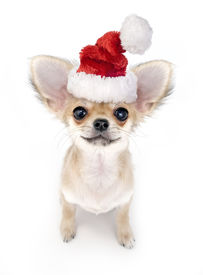 image of chiwawa  - Christmas Chihuahua puppy with Santa hat on white background - JPG
