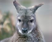 Portrait view of a Red-necked wallaby
