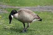 stock photo of canada goose  - Canada goose pecking for food in the grass in a small park - JPG