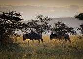 stock photo of stroll  - Wildebeest on an early morning stroll in the Masai Mara - JPG