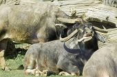 stock photo of cape buffalo  - cape buffalo basking in sunshine with its tongue out - JPG