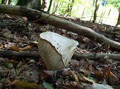 Mushroom Lactarius Vellereus