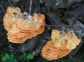 Mushrooms Laetiporus Sulphureus
