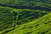 Kerala India travel background - tree in green tea plantations in Munnar, Kerala, India - tourist at