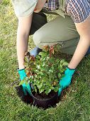 Female gardener trying potted rose shrub in the dug hole in her backyard garden