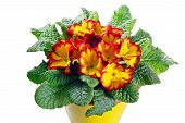 Closeup Of Primrose Flowering Plant In Pot On A White Background