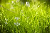 Nature. Background. Grass With Soap Bubbles.