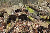 picture of biodiversity  - A Stack with rotten wood in a forest - JPG