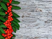 Red Rowan Berries Background