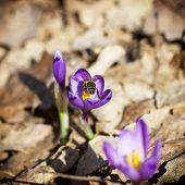 Bee Pollinate Saffron