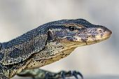 stock photo of goanna  - Closeup of water monitor lizard  - JPG