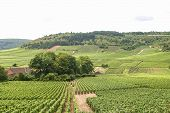 Vineyards In Ffrench Burgundy