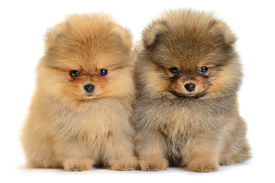 stock photo of puppy eyes  - two pomeranian puppy the age of 1 - JPG