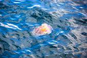 Jellyfish, Seydisfjordur Iceland7