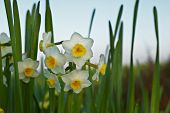 Flower Of Narcissus ( Narcissus Tazetta )