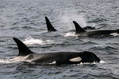 stock photo of orca  - Resident Orcas on the move off Sooke Canada - JPG