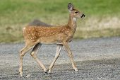 Young Fawn In Park.