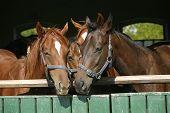 Nice thoroughbred foals in the stable door Nice thoroughbred foals in the stable door
