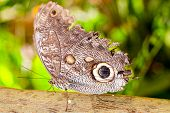 pic of cocoon tree  - Giant Caligo oileus - JPG