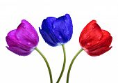 Dewy tulips