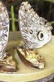 Pair of giant Caligo oileus, the Oileus Giant Owl butterfly, amazonian rainforest