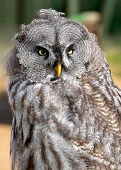 pic of laplander  - The Great Grey Owl or Lapland Owl - JPG