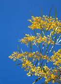 Yellow Flowers Of Golden Wattle. Acacia Pycnantha