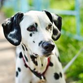 image of firehouse  - a dalmatian on a green grass outdoors