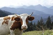 Cow In The Bavarian Alps
