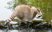 stock photo of omnivore  - Adult raccoon at a small stream Holland - JPG