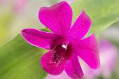 Purple Dendrobium Orchid Close-up