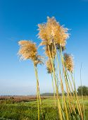 foto of pampa  - Golden flower heads of Pampas Grass or Cortaderia selloana plants on a early morning in the fall season - JPG