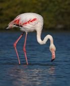 Greater flamingo, phoenicopterus roseus, Camargue, France