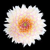 White Chrysanthemum Flower With Purple Center Isolated